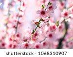 the blossoming peach garden in... | Shutterstock . vector #1068310907