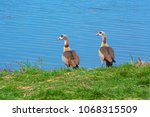 Two Colorful Nile Gooses At A...