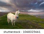 llama at the colorada lagoon ... | Shutterstock . vector #1068325661