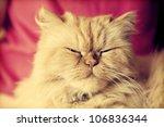 Portrait Of Cute Persian Cat...