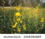 the yellow sunhemp flowers...   Shutterstock . vector #1068386885
