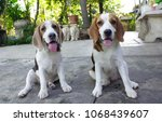 couple of the beagle | Shutterstock . vector #1068439607