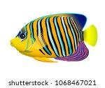 the royal angelfish or regal...