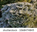 small snow covered conifer | Shutterstock . vector #1068474845