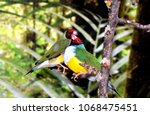the gouldian finch  erythrura... | Shutterstock . vector #1068475451