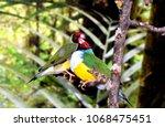 the gouldian finch  erythrura... | Shutterstock . vector #1068475451