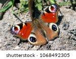 european common peacock...   Shutterstock . vector #1068492305