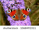 european common peacock...   Shutterstock . vector #1068492311