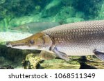 arapaima gigas  also known as... | Shutterstock . vector #1068511349
