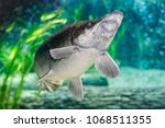 arapaima gigas  also known as... | Shutterstock . vector #1068511355
