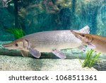 arapaima gigas  also known as... | Shutterstock . vector #1068511361