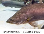 arapaima gigas  also known as... | Shutterstock . vector #1068511439