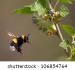 bumble bee flying to flower ...
