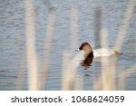 male common pochard  aythya... | Shutterstock . vector #1068624059