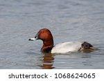 male common pochard  aythya... | Shutterstock . vector #1068624065