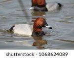 male common pochard  aythya... | Shutterstock . vector #1068624089