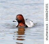 male common pochard  aythya... | Shutterstock . vector #1068624101