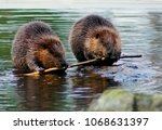 Beaver Couple Eating The Same...