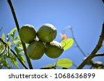 various fruits of ceiba... | Shutterstock . vector #1068636899
