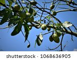 several fruits of ceiba... | Shutterstock . vector #1068636905
