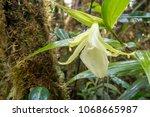 unidentified terrestrial orchid ...   Shutterstock . vector #1068665987