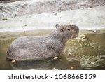 capybara in thai  thailand.   Shutterstock . vector #1068668159