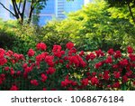 Stock photo beautiful red roses bush in summer morning garden on bright summer day background 1068676184