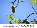 fruit of ceiba speciosa growing ... | Shutterstock . vector #1068680261