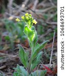 Small photo of Yellow vernal flower, Draba nemorosa.