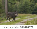 Wild Boar Crossing Forest Path