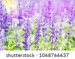 close up of purple lavender... | Shutterstock . vector #1068766637