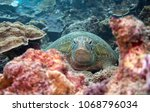green turtle resting on a coral ... | Shutterstock . vector #1068796034