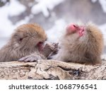 japanese snow monkey macaque in ... | Shutterstock . vector #1068796541