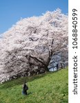 Small photo of Cherry blossoms at Yodogawa River Park separation levee seen from the bottom