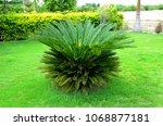 Sago Palm Tree  Taad Ka Paid    ...