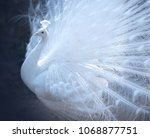 beautiful white peacock with... | Shutterstock . vector #1068877751