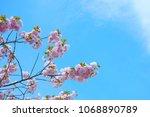 cherry blossom flower blue sky... | Shutterstock . vector #1068890789