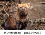 portrait of bush dog | Shutterstock . vector #1068899087