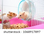 Stock photo two hamsters image 1068917897