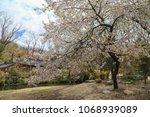 cherry tree blooming in spring | Shutterstock . vector #1068939089
