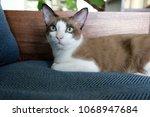 white  dark brown cat laying on ... | Shutterstock . vector #1068947684