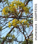 Small photo of Close up of blooming yellow flowers of Norway maple (Acer platanoides). Poland, Europe