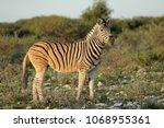 a plains zebra  equus burchelli ... | Shutterstock . vector #1068955361
