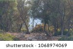 young olive trees on a small...   Shutterstock . vector #1068974069