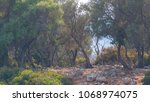 young olive trees on a small...   Shutterstock . vector #1068974075