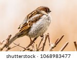 male house sparrow or passer... | Shutterstock . vector #1068983477