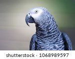 The Grey Parrot Psittacus...
