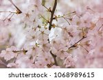 pink cherry blossom  floral... | Shutterstock . vector #1068989615