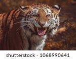 siberian tiger  panthera tigris ... | Shutterstock . vector #1068990641
