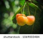 close up rainier cherries... | Shutterstock . vector #1069003484